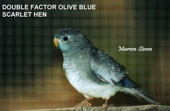 femelle-double-factor-olive-bleu.jpg