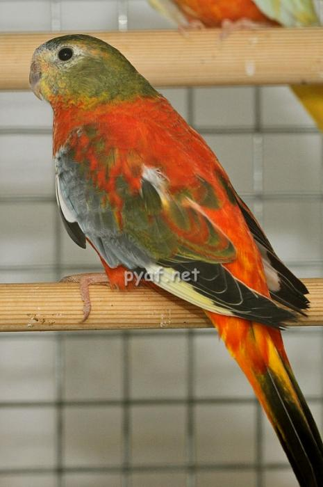 femelle-opaline-gris-vert-vpr.jpg
