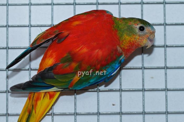femelle-opaline-pvr-1.jpg