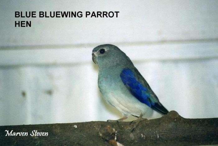 femelle-venuste-bleu.jpg
