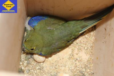 blue wing (=venuste) in box