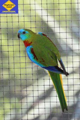 turquoisine mâle sauvage poitrine et ventre rouge