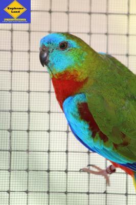 turquoisine mâle poitrine et ventre rouge