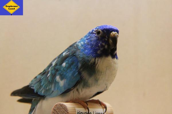 splendide mâle bleu mottle
