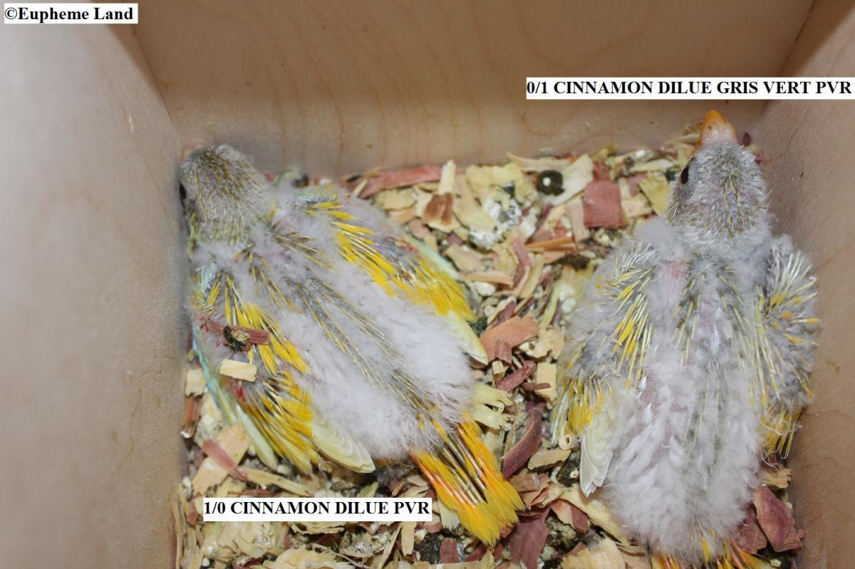 CINNAMON DILUE / CINNAMON DILUE GRIS VERT