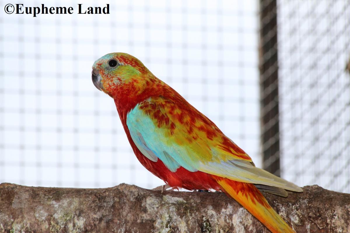 turquoisine opaline dilué poitrine ventre et dos rouge