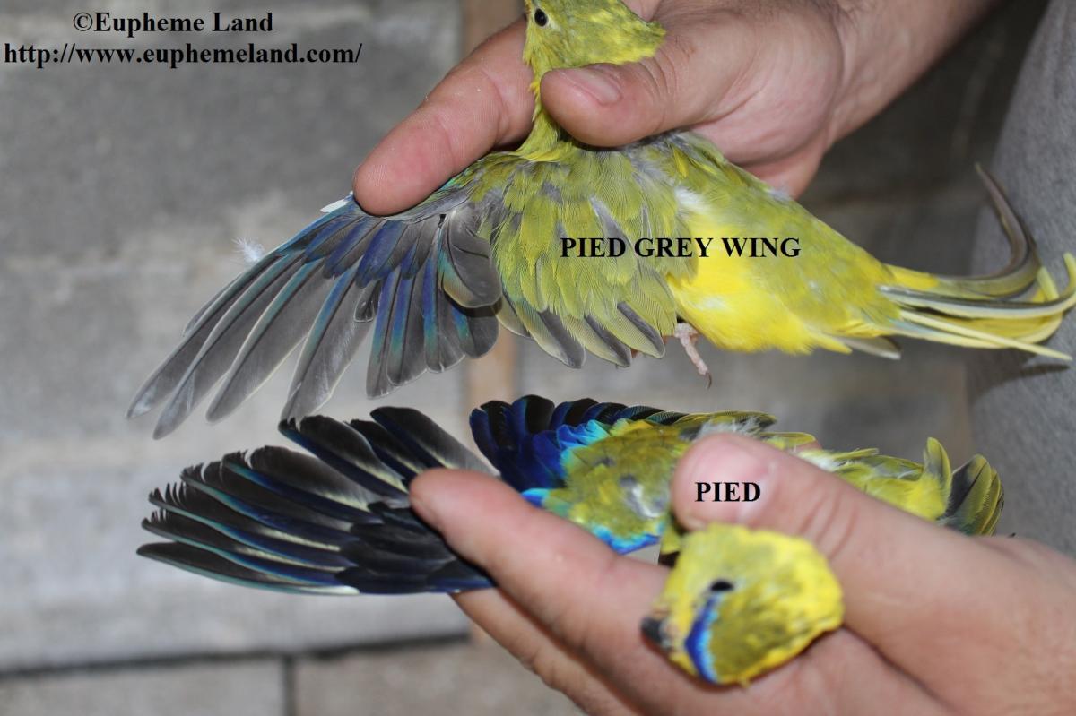 comparaison Panaché aile grise & Panaché