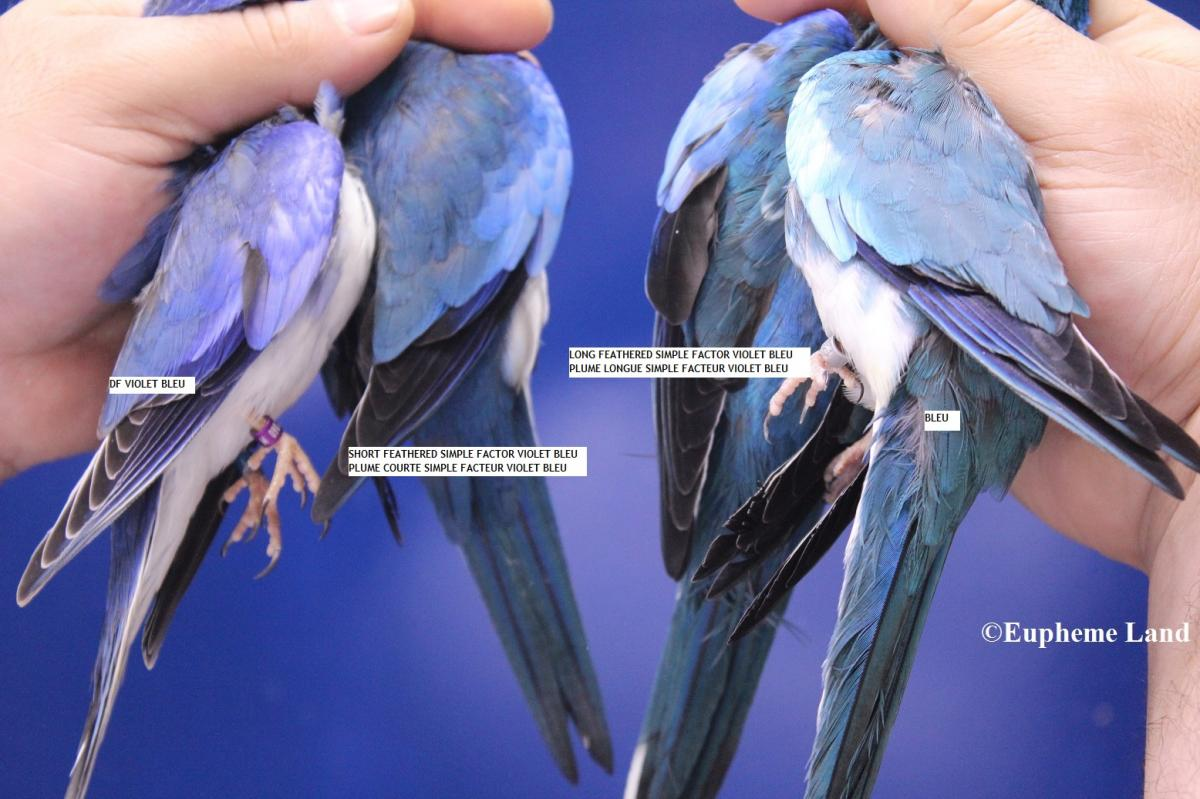 splendide bleu violet
