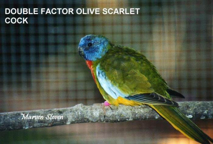 male-double-factoc-olive.jpg