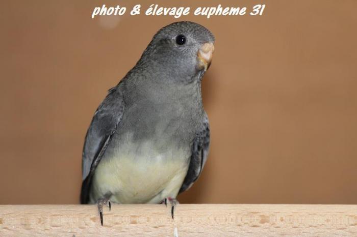 spl-aqua-gris-femelle.jpg