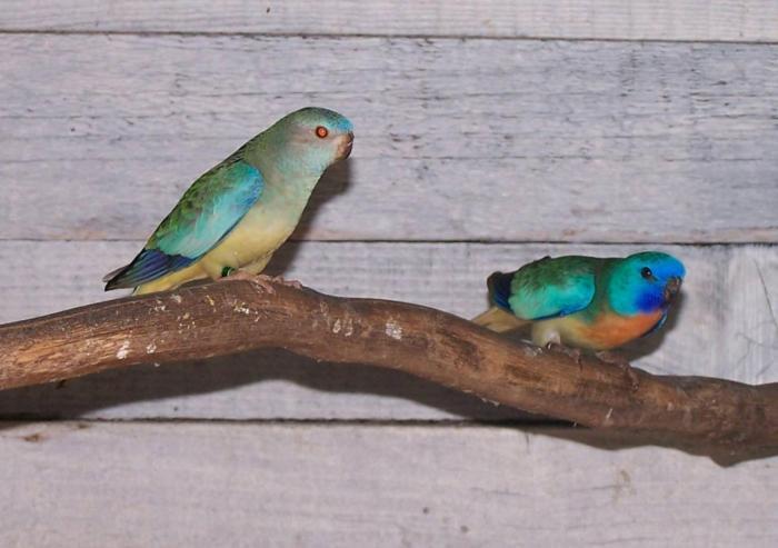 spl-aqua-male-aqua-fallow-femelle.jpg