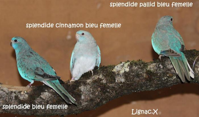 spl-bleu-cinn-bleu-pallid-bleu.jpg