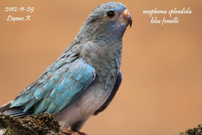 spl-bleu-pvb-femelle-3.jpg