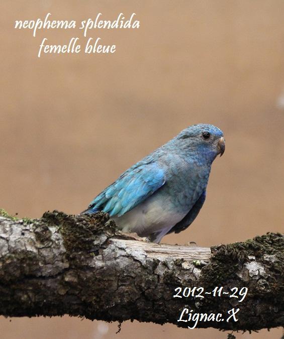 spl-bleu-pvb-femelle-4.jpg