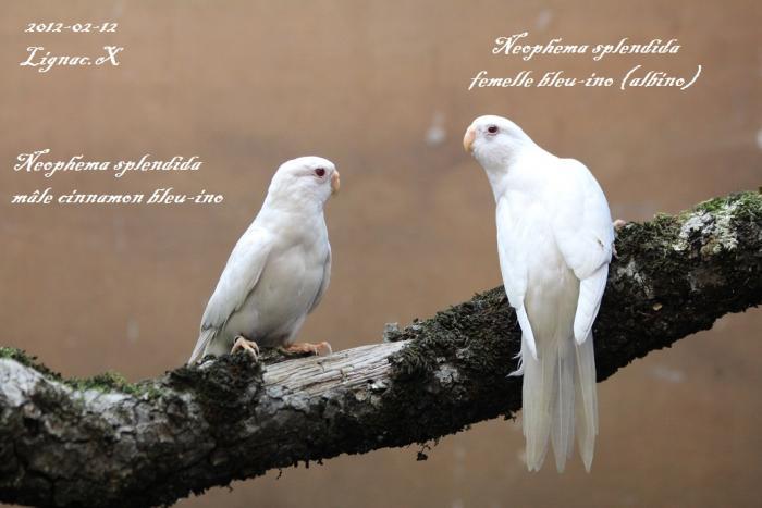 spl-cinn-bleu-ino-male-albino-femelle.jpg