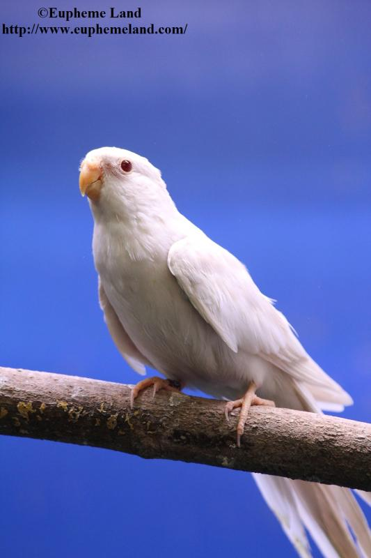 Spl cinnamon albino