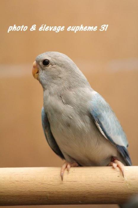spl-cinnamon-bleu-femelle-1.jpg