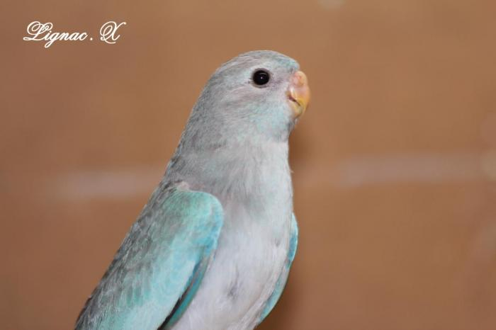 spl-cinnamon-bleu-femelle-4.jpg