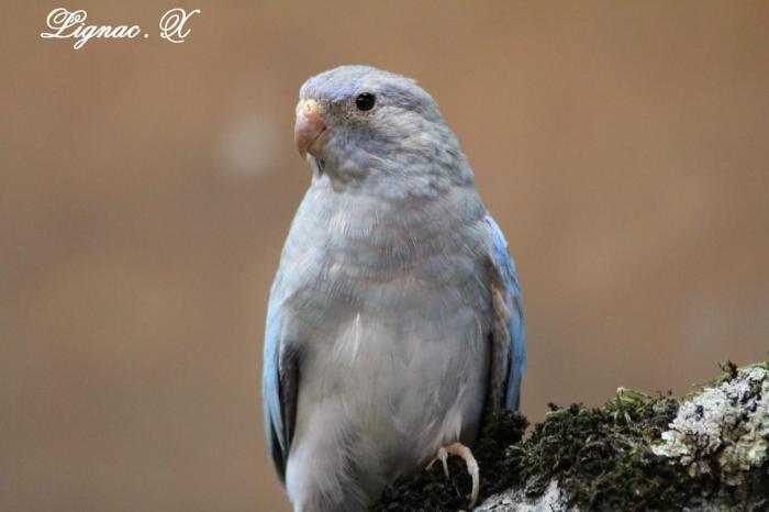 spl-cinnamon-bleu-femelle-5.jpg