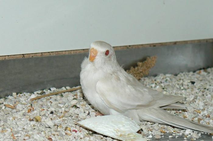spl-cinnamon-bleu-ino-femelle-1.jpg