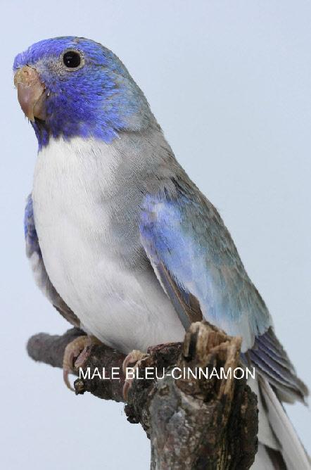 spl-cinnamon-bleu-male.jpg