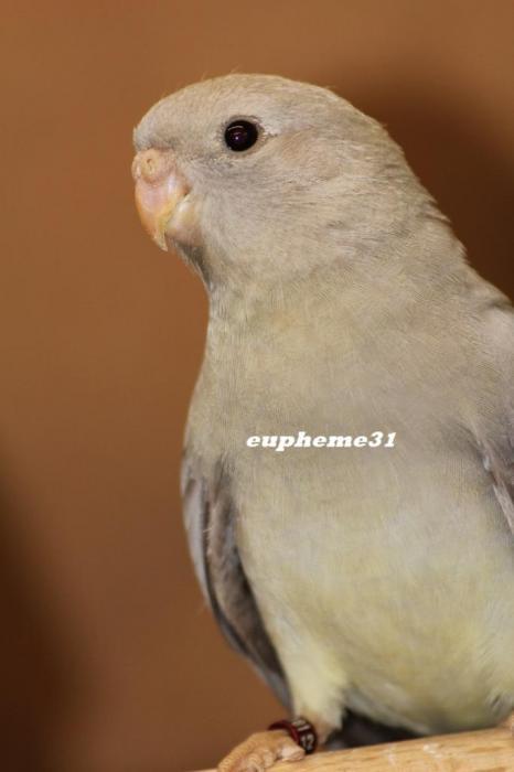 spl-cinnamon-gris-aqua-femelle.jpg