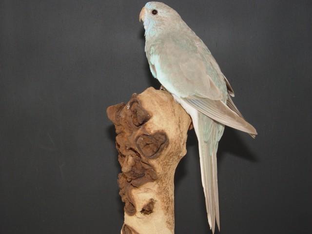spl-femelle-cinnamon-bleu.jpg