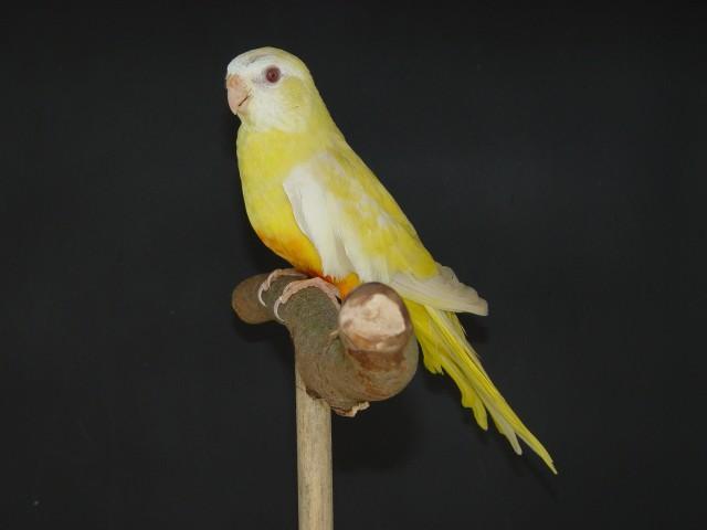 spl-femelle-cinnamon-ino-1.jpg