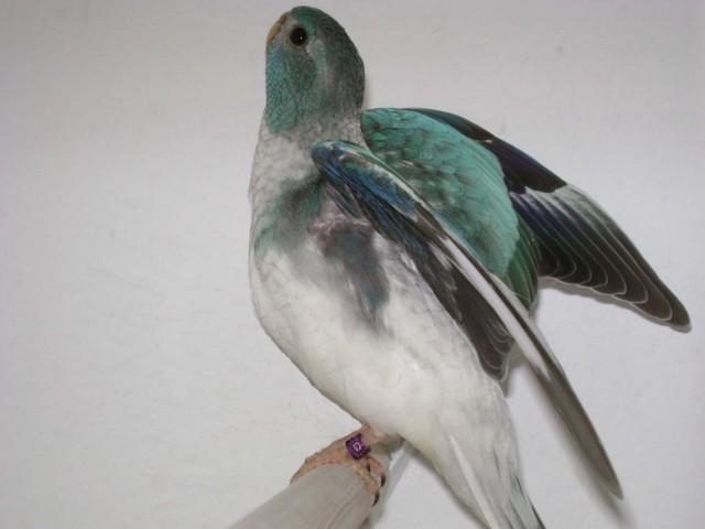 spl-femelle-opaline-bleu-1.jpg