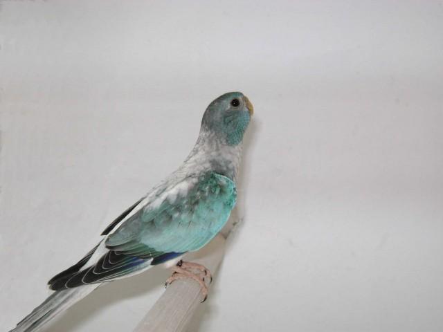 spl-femelle-opaline-bleu.jpg
