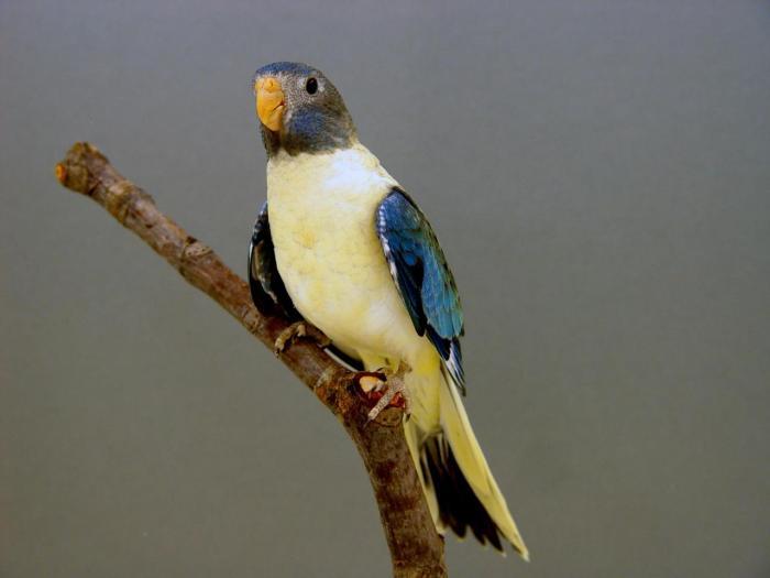 spl-femelle-opaline-turquoise-1.jpg