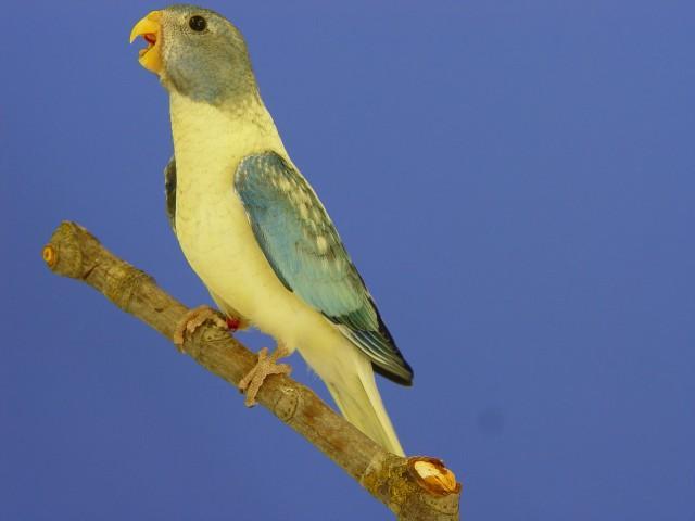 spl-femelle-opaline-turquoise.jpg