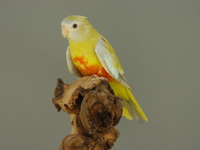 spl-femelle-pallid-cinnamon-vr.jpg