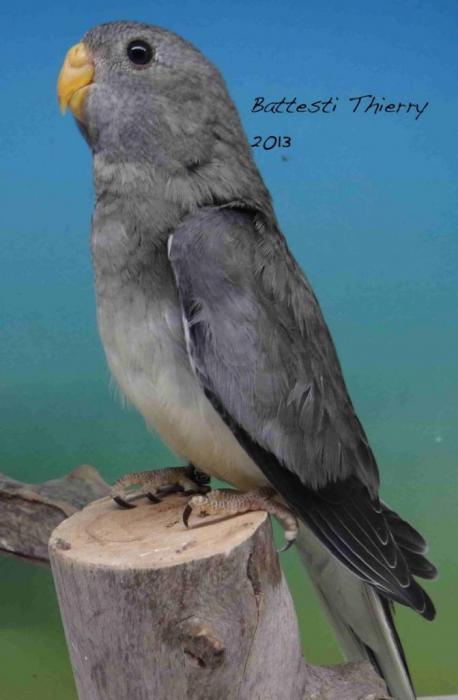 spl-gris-turquoise-femelle.jpg