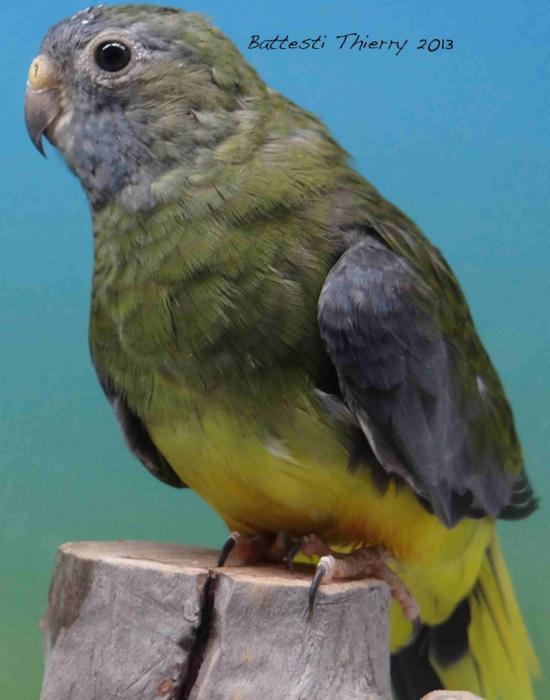 spl-gris-vert-femelle.jpg