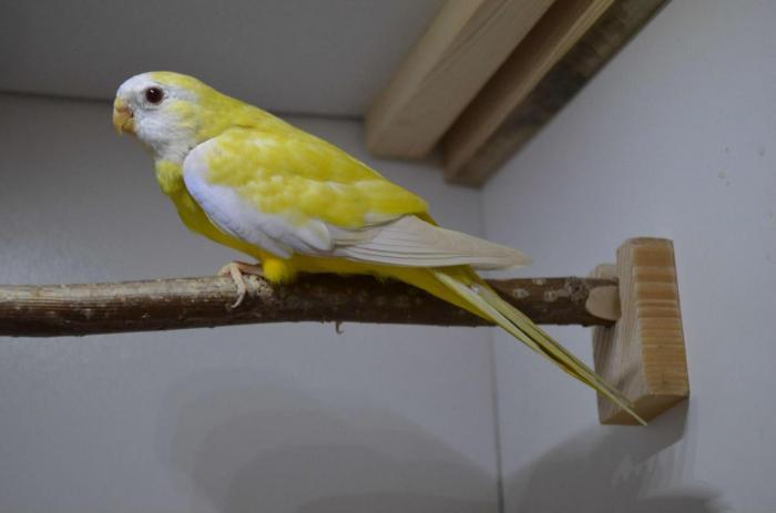 spl-lutino-femelle-1.jpg