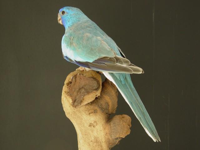 spl-male-cinnamon-bleu.jpg