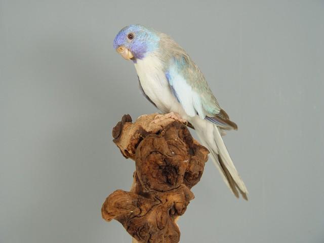 spl-male-cinnamon-pallid-bleu.jpg