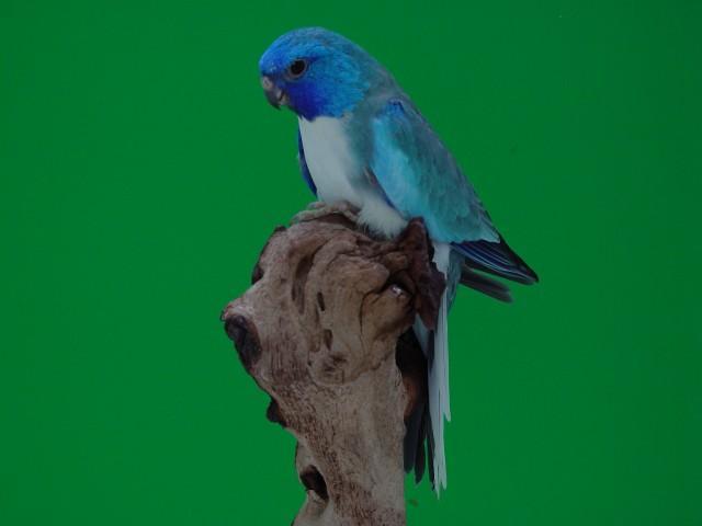 spl-male-pallid-bleu.jpg