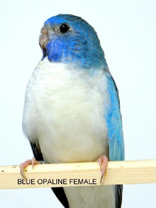 spl-opaline-bleu-femelle-1.jpg