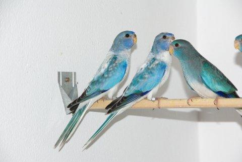 spl-opaline-bleu-femelle-2.jpg