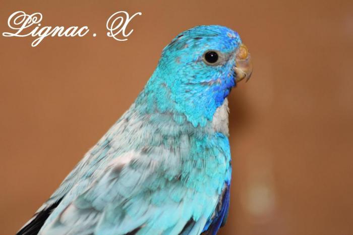 spl-opaline-bleu-male-1.jpg