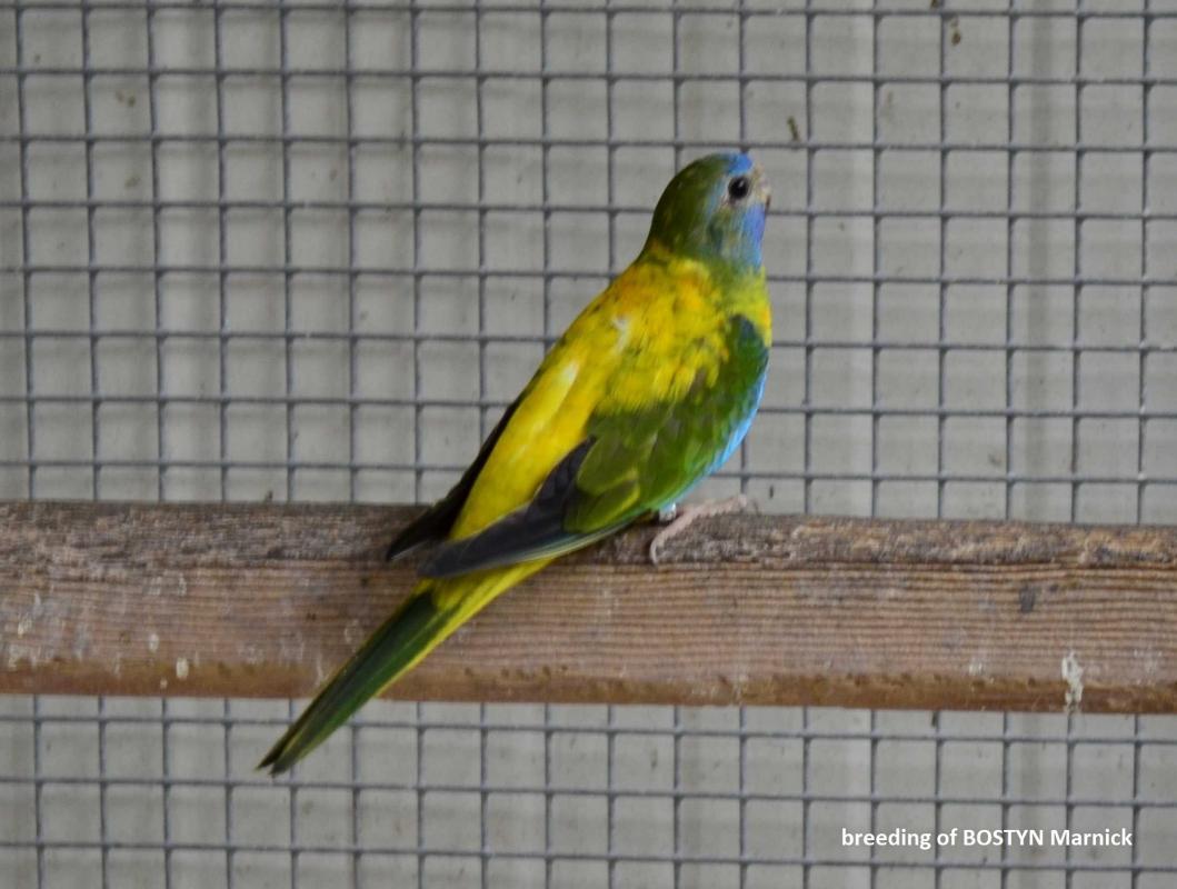 Spl opaline green red belly femelle