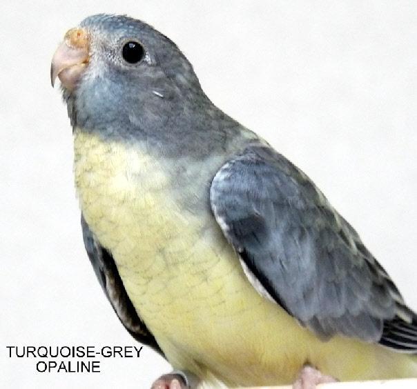 spl-opaline-gris-turquoise-femelle.jpg