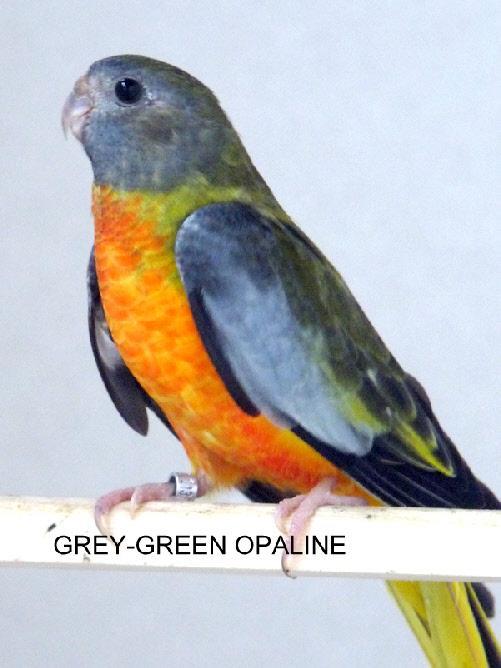 spl-opaline-gris-vert-vr-femelle.jpg