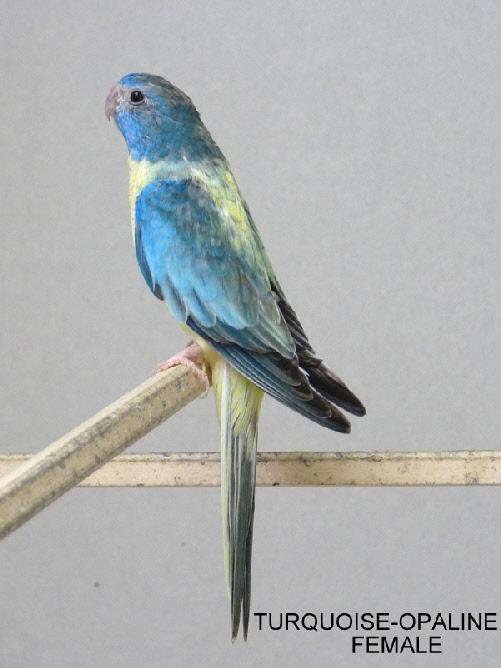 spl-opaline-turquoise-femelle-2.jpg