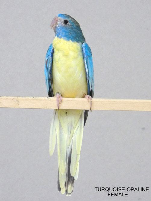 spl-opaline-turquoise-femelle.jpg