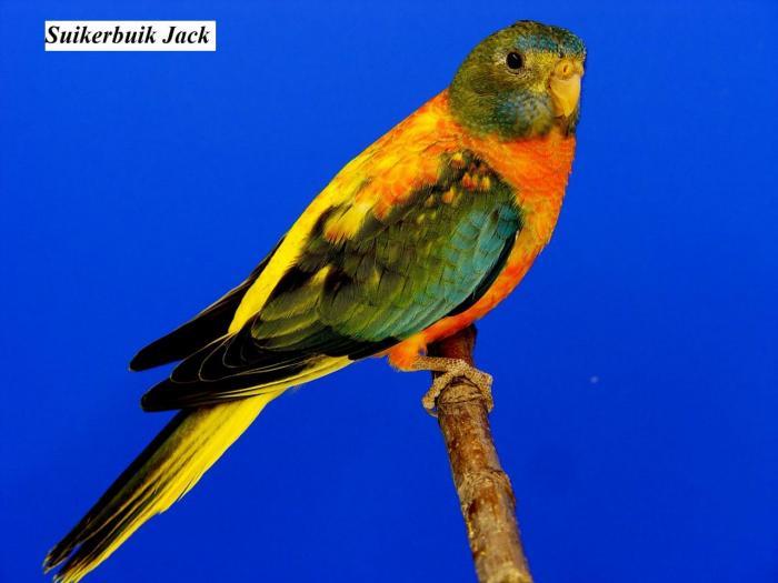 spl-opaline-verte-ventre-dos-rouge-femelle-opaline-green-roodbuik-hen-from-suikerbuik-jack-1.jpg