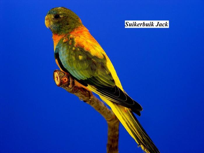 spl-opaline-verte-ventre-dos-rouge-femelle-opaline-green-roodbuik-hen-from-suikerbuik-jack.jpg