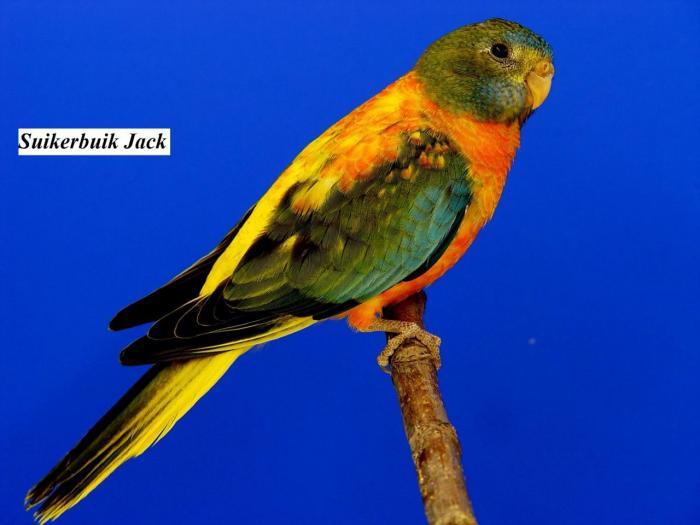 spl-opaline-verte-ventre-dos-rouge-femelle-opaline-green-roodbuik-hen-from-suikerbuik-jack2.jpg